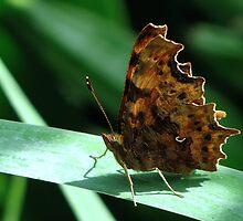 Comma Butterfly by Sharon Perrett