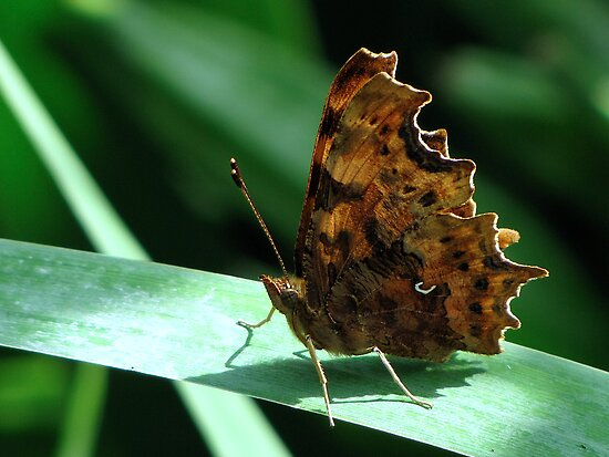 Comma Butterfly by Sharon Perrett