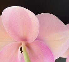 Lilac Moth Orchid by ShotsOfLove