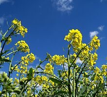 Oilseed Rape, close-up by hootonles