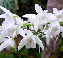 White Orchids with Raindrops #2 by Virginia McGowan