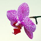 Phalaenopsis Prince by Bill Morgenstern