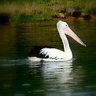 pelican swimming by miroslava