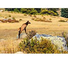Young Elk Photographic Print
