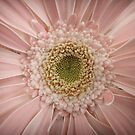 Gerbera by Caroline Fournier