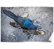 Boat-tailed Grackle working on shells Poster