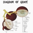 Diagram of grape by 4Seasons
