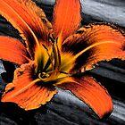 Lily by nikspix