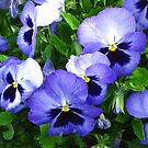 Blue Pansies by Marta Boulden