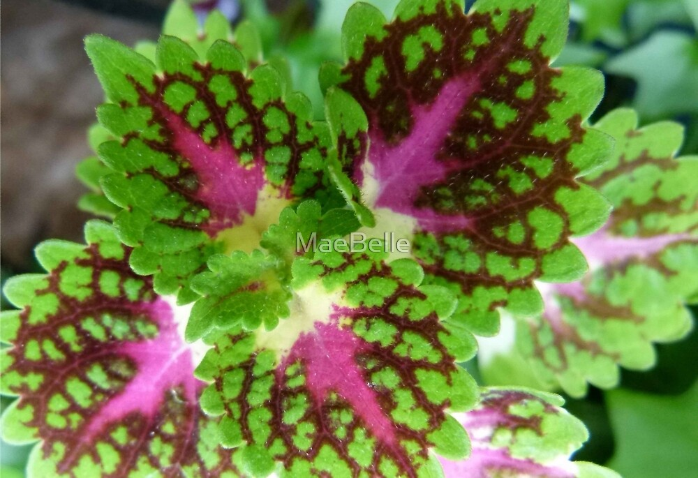 Varigated Coleus by MaeBelle