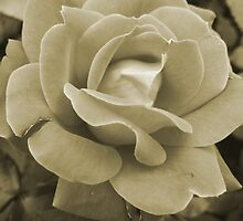 Faded Rose by Betty Northcutt