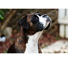 Something In the Air -Boxer Dogs Series- Photographic Print