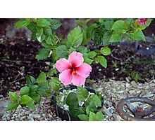 Pink Hibiscus and Wheel Photographic Print