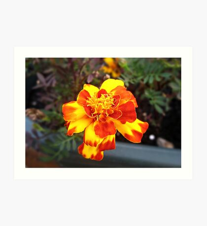 Sunny Marigold Art Print