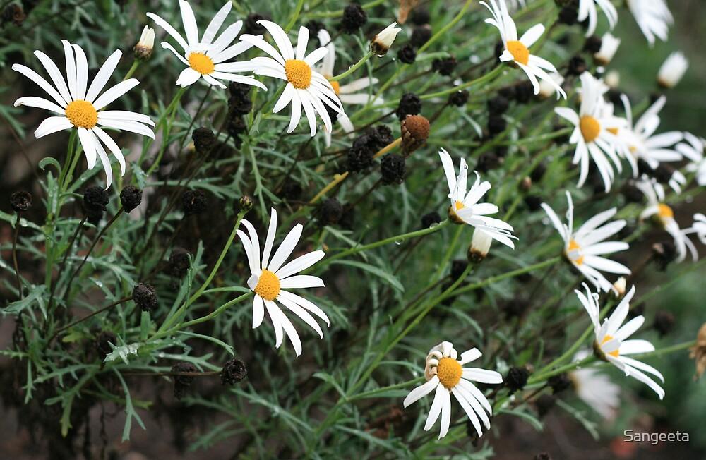 White daisies by Sangeeta
