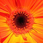 Orange Gerbera  by Megs81