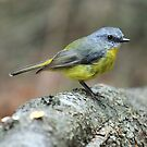 Pale Yellow Robin by Paul Duckett