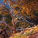Mt Alexander Eucalypt by Harry Oldmeadow