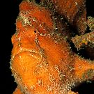 Orange Giant Frogfish by MattTworkowski