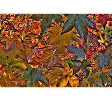Liquidambar Leaves Photographic Print