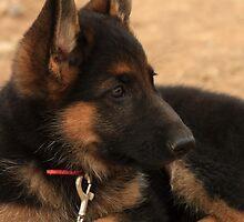 Black German Shepherd by KatsEye