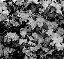 Black and White Rhododendron  by Linda Miller Gesualdo
