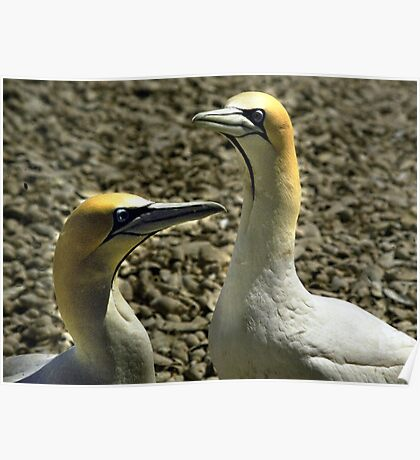 A pair of Cape Gannets - South Africa Poster