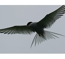 Flying Artic Tern  Photographic Print