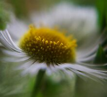 Marguerite (from wild flowers collection) by Antanas
