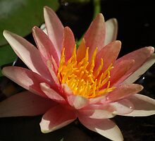 Red water lily by loiteke