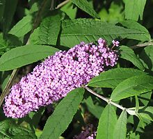 Buddleia Basking in the Sunshine by kathrynsgallery