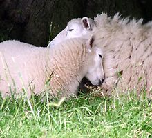 snuggling sheep by AngelaFoster