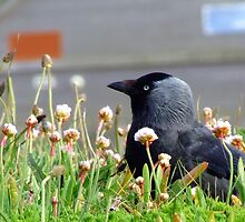 jackdaw in newquay by sblight