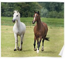 Lovely white and brown horses Poster