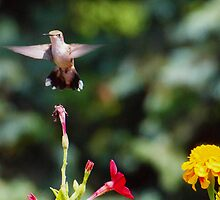 Humming Bird! by Melzo318