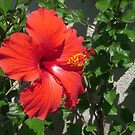 A Classic Hibiscus by Tama Blough