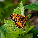 My Name is Fritillary by David Friederich