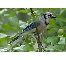 Bluejay on an apple tree Photographic Print