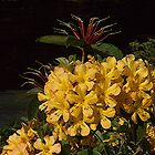Mellow, yellow Vireya...........! by Roy  Massicks