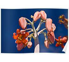 Flowering Succulent - Pig's ear, or Varkoor Poster