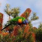 Rainbow Lorikeet (Trichoglossus haematodus) by Kindi Smith