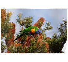 Rainbow Lorikeet (Trichoglossus haematodus) Poster
