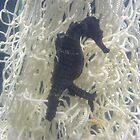 shy sea horse by ameliaayres