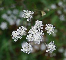 White flowers by mickeydoodah