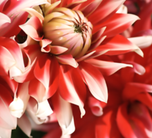 flower-dahlia-red-white-trio Sticker