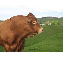Big Bull Photographic Print