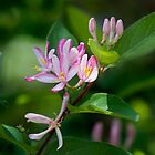 Lonicera Tatarica by Gracey