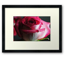Red and White Rose Close Up Framed Print