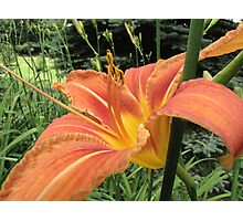We call these the Rumney Lilies... (but they're not really) Photographic Print