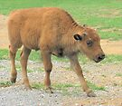 Baby Bison by Ginny York